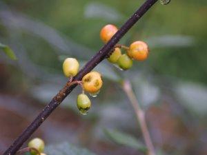 Cotoneaster thimphuensis