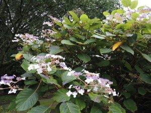 Hydrangea aspera 'Robusta'