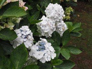 Hydrangea 'Lanarth' and Hydrangea 'Madame E Mouilliere' together.